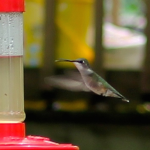 Hummingbird Feed ~ A garden recipe and discussion