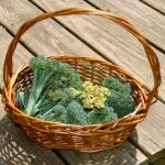 Growing Sweet Potato Plants and Broccoli ~ Garden Update