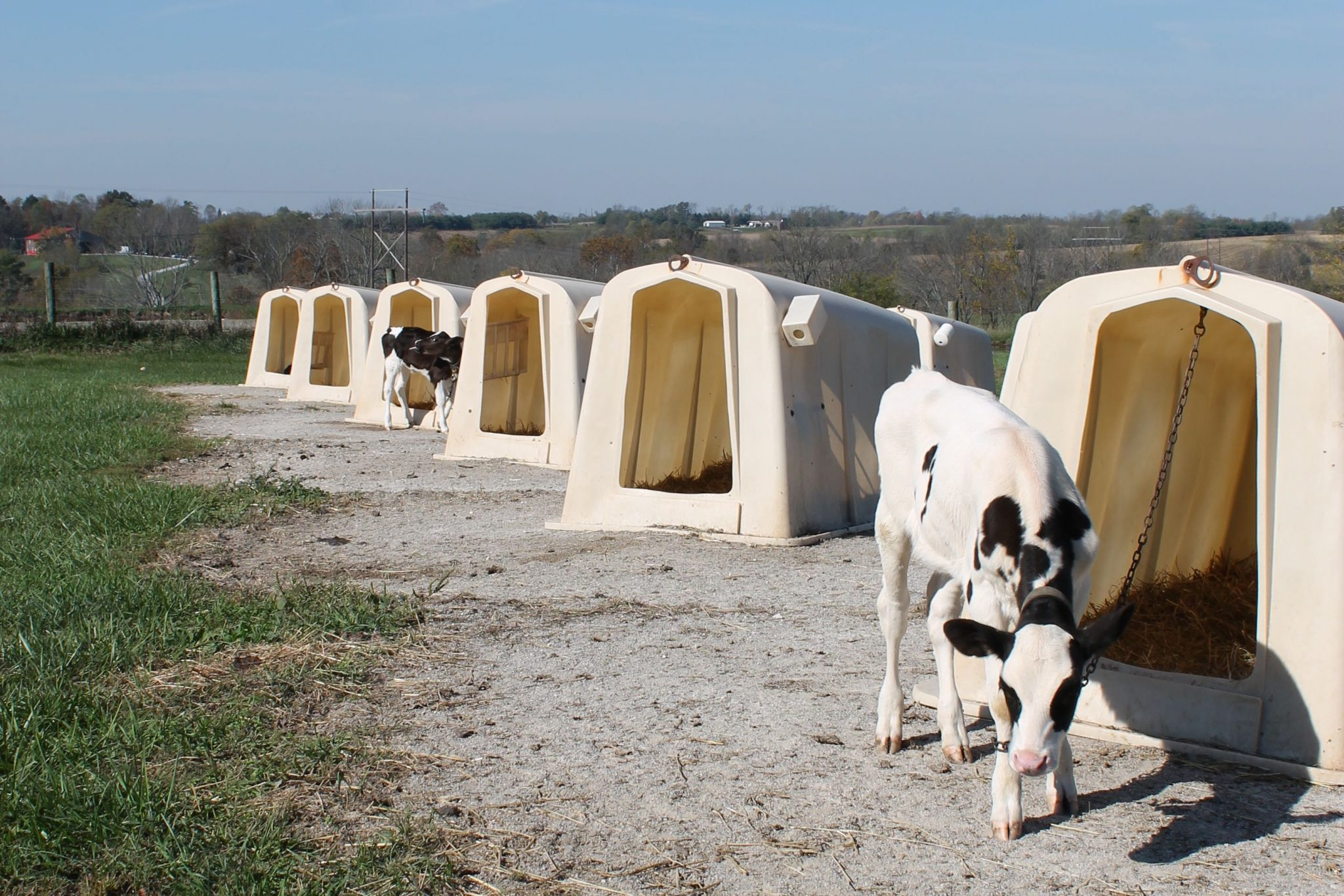 Visit to Ed-Mar Dairy, a local dairy farm in Northern Kentucky is a tour you're gonna want to see. These Holsteins make the best cheese around!